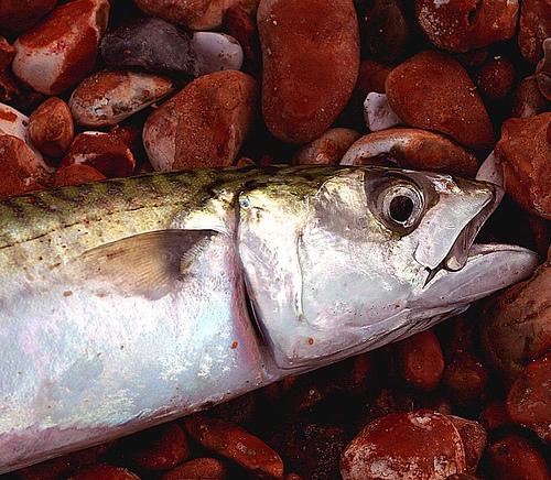 Japanese grilled stuffed mackerel rolls | SANSHO DAIKO